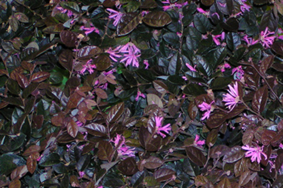 LOROPETALUM A USEFUL FLOWERING SHRUB